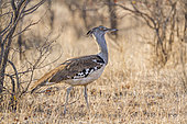 Kori bustard (Ardeotis kori) walking, Kruger National park, South Africa