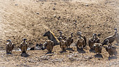 Vautours africains (Gyps africanus) au sol et Hyène tachetée (Crocuta crocuta), Kruger, Afrique du Sud