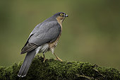 A Sparrowhawk (Accipiter nisus) perches perfectly in Scotland, UK.