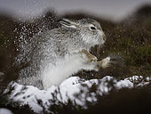 A Mountain Hare shakes off in the Cairngorms National Park.