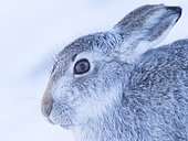 A stunning Mountain Hare (Lepus timidus) in the Cairngorms National Park, UK.