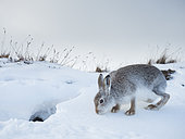 A Mountain Hare (Lepus timidus) emerges from her snow hole in the Cairnorms National Park, UK.