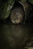 A Water Vole emerges from a pipe in the Peak District National Park, UK.