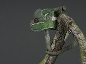A charming Flap Necked Chameleon (Chamaeleo dilepis) perches tentatively on a branch.