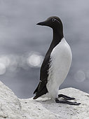 A bridled Guillemot (Alca torda) perches perfectly off the coast of Northumberland.