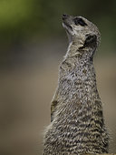 An observant Meerkat (Suricata suricatta) perches perfectly in the midday sun.