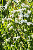 Limonium sinuatum 'Qis White'