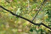 Rose ringed Parakeet (Psittacula krameri) introduced species, Paris surrounding, France
