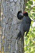 Black Woodpecker feeding at nest (Dryocopus martius), Danube Delta, Romania