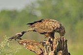 White tailed Eagle (Haliaeetus albicilla) on a dead tree in the company of a Hooded Crow (Corvus corone cornix), Danube Delta, Romania