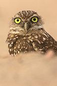 Burrowing owl, (Athene cunicularia), Arizona