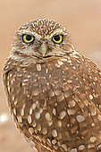 Burrowing owl (Athene cunicularia), Arizona