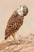 Burrowing owl (Athene cunicularia), Arizona