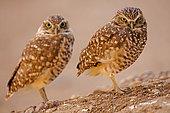 Burrowing owls (Athene cunicularia), Arizona