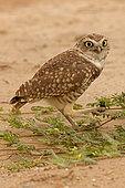 burrowing owl (Athene cunicularia), Arizona, eating beetle