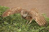 "Burrowing owl (Athene cunicularia), Arizona, ""rain dance"""