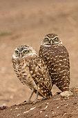 "Burrowing owls (Athene cunicularia), Arizona, ""rain dance"""
