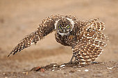 "Burrowing owl (Athene cunicularia), Arizona, ""rain dance"""