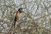 Rosy Starling (Pastor roseus) on a branch, Rajasthan Desert, India