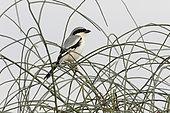 Southern grey shrike (Lanius meridionalis), Rajasthan Desert, India