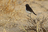 Variable Wheatear (Oenanthe picata) male on a branch, Rajasthan Desert, India