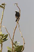 Variable Wheatear (Oenanthe picata) form with white cap on a branch, Rajasthan Desert, India