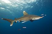 Oceanic Whitetip Shark, Carcharhinus longimanus, Brother Islands, Red Sea, Egypt