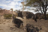 Groupe of South African Ostrich (Struthio camelus australis), Spitzkoppe, Namibia