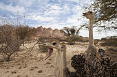 South African Ostrich (Struthio camelus australis), Spitzkoppe, Namibia