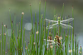 Emperor dragonfly (Anax imperator) emergence on Sedge (Carex sp), Greece