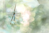 Emperor dragonfly (Anax imperator) on stem, Alsace, France