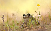 Green toad (Bufo viridis), Greece