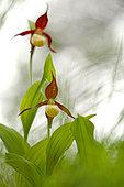 Ladies slipper Orchid (Cypripedium calceolus) flowers, Vercors, France