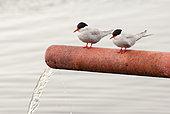 Antarctic tern (Sterna vittata), Antarctic