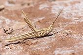 Splendid Cone-headed Grasshopper (Truxalis nasuta), Morocco