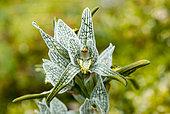 Porcelain Orchid (Chloraea magellanica), Chilean Patagonia