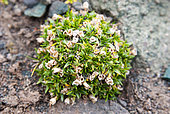 Antarctic pearlwort (Colobanthus quitensis), one of only two Antarctic flowering plants, here with open fruit (capsules)