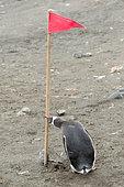 Manchot papou (Pygoscelis papua) s'en prenant à un drapeau utilisé pour le tourisme polaire de croisière, Shetland du Sud, Antarctique