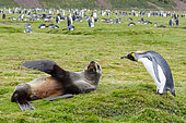 Interaction between an Antarctic Fur Seal (Arctocephalus gazella) and a King Penguin (Aptenodytes patagonicus) moulting, South Georgia