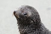 Young Antarctic Fur Seal (Arctocephalus gazella), South Georgia