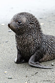 Young Antarctic Fur Seal (Arctocephalus gazella), South Georgia