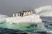 Adélie Penguin (Pygoscelis adeliae) group on an iceberg in the mist, Weddell Sea, Antarctica