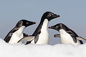 Adelie penguin trio (Pygoscelis adeliae) on an iceberg, Weddell Sea, Antarctica