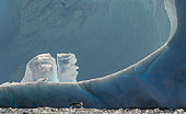 Adélie penguin (Pygoscelis adeliae) porpoising in front of a monumental iceberg, Antarctica