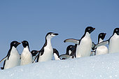 Adélie penguins (Pygoscelis adeliae) and an adult chinstrap penguin (Pygoscelis ntarcticus) on an iceberg in the Weddell Sea, Antarctica