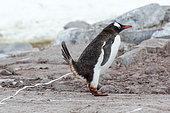 Gentoo penguin (Pygoscelis papua) defecating, Antarctica