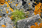 Antarctic hair grass (Deschampsia antarctica), one of only two flowering plants in Antarctica, between rocks covered with lichens