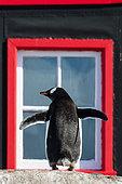 Gentoo penguin (Pygoscelis papua) adult in front of Port Lockroy UK station on Goudier Island, Antarctica
