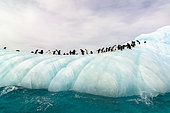 Adélie Penguin (Pygoscelis adeliae) group on iceberg in Weddell Sea, Antarctica