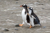 Quivering behavior of a young gentoo penguin (Pygoscelis papua) with one of his parents, Antarctica